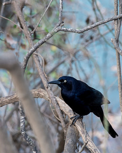 Grackle - Austin - Texas - USA