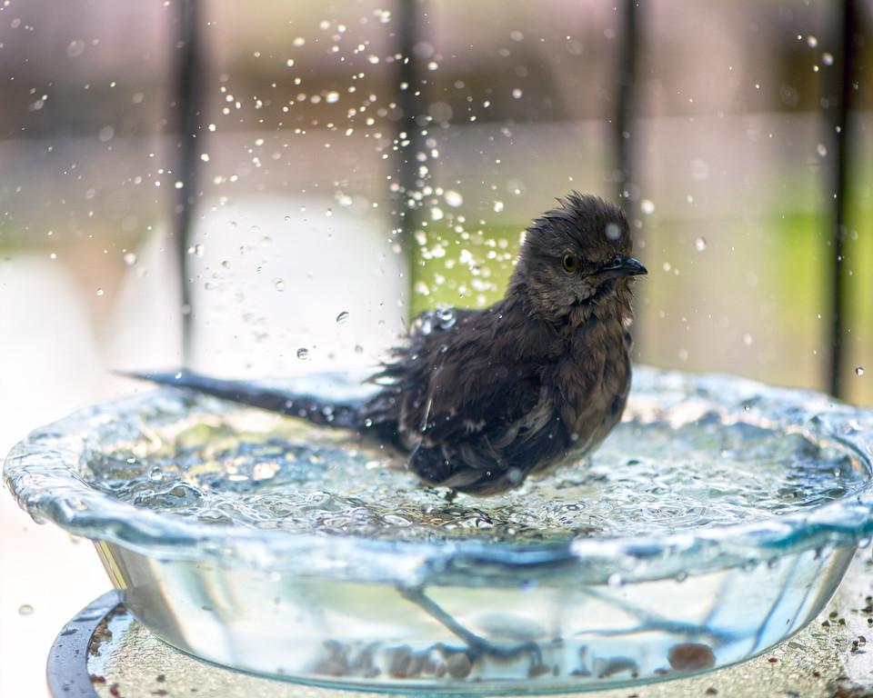 Northern Mockingbird - Bird - Austin - Texas - USA