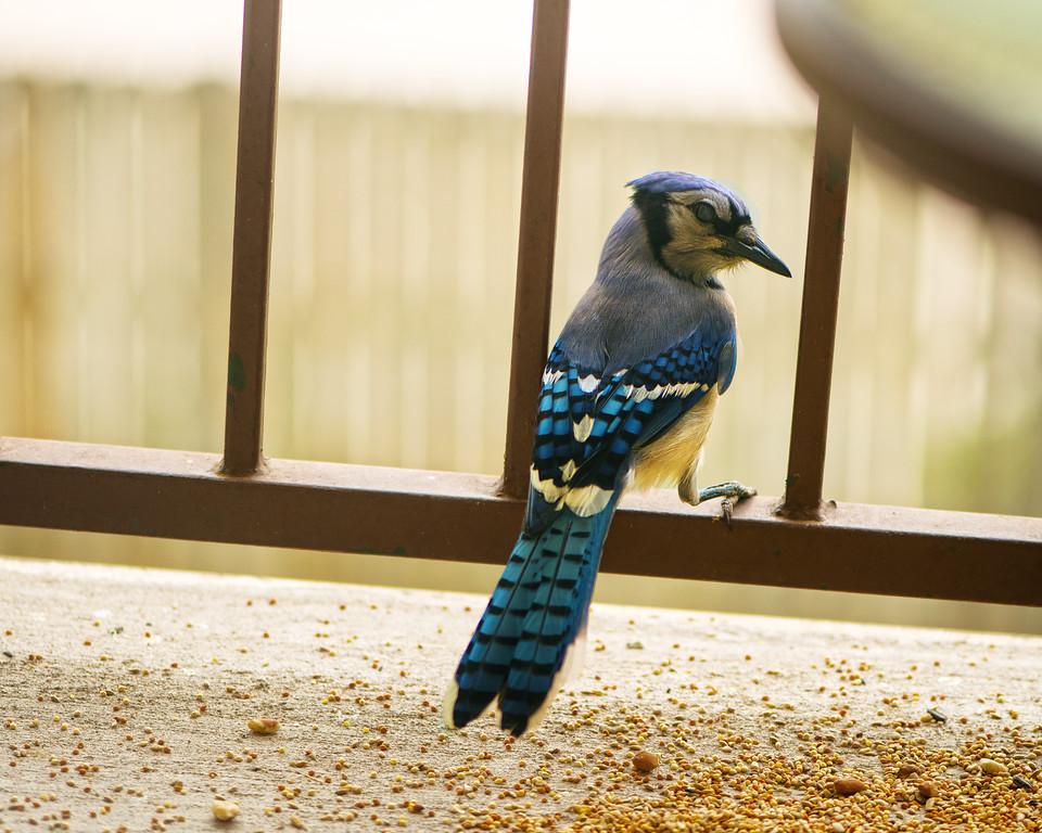 Blue Jay - Bird - Austin - Texas - USA