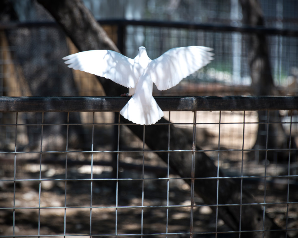 White Dove - Bird - Austin - Texas - USA