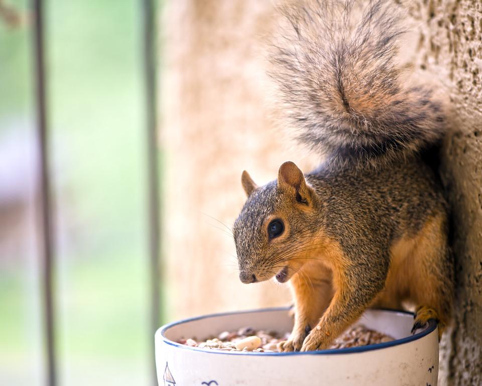 Squirrel - Austin - Texas - USA