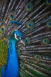Peacock - Bird - Austin - Texas - USA