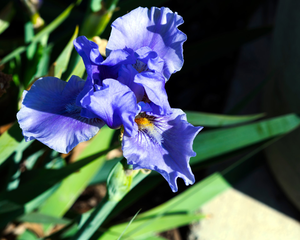 Iris - Professional Floral Photography - Austin, Texas - Macro Photography