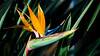 Bird of Paradise - Floral - Galveston - Texas - USA