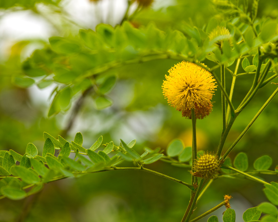 Golden-Ball Lead-Tree (Leucana retusa)