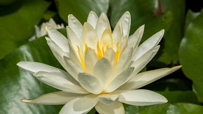 Water Lily - Professional Floral Photography - Austin, Texas - Macro Photography