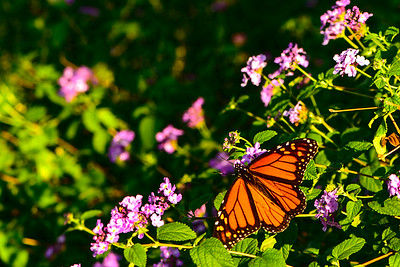 Monarch Butterfly on Lantana flowers - Professional Floral Photography - Austin, Texas - Macro Photography