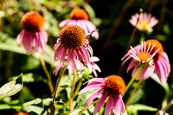 Purple Cone Flower - Professional Floral Photography - Austin, Texas - Macro Photography - Zilker Botanical Gardens