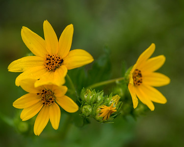 Engelmann Daisy (Engelmannia pinnatifida)