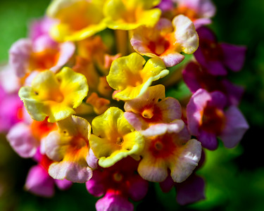 Lantana - Professional Floral Photography, Texas - Macro Photography