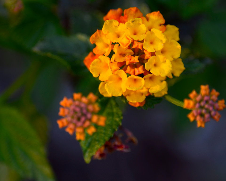 Lantana (Lantana horrida) - Professional Floral Photography - Austin, Texas - Macro Photography