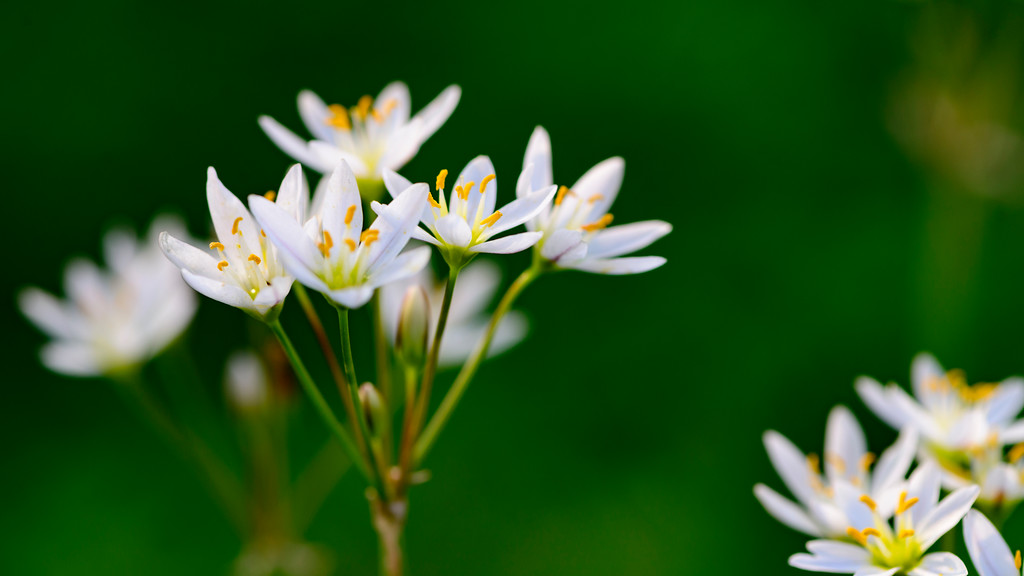 Crow Poison - Nothoscordum Bivalve - wildflower, Austin, Texas