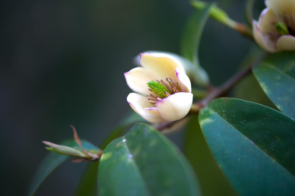 Banana Magnolia