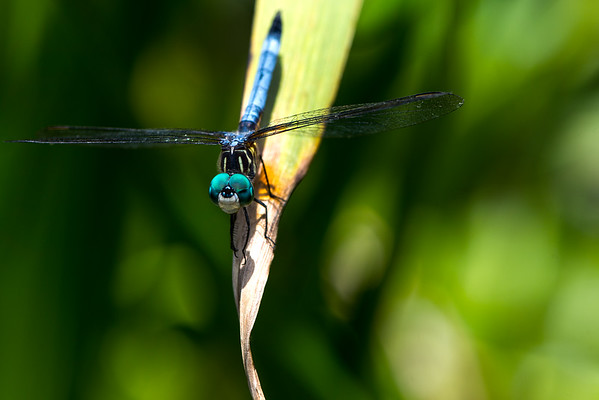 Dragon Fly - Professional Photography - Insect - Macro Photography - Austin, Texas