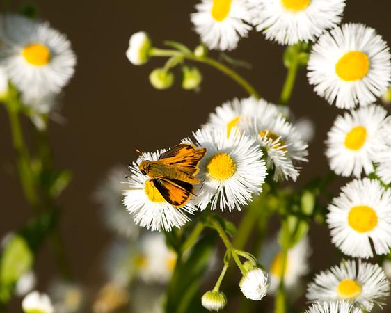 Butterfly and Prairie Fleabane (Erigeron modestus)