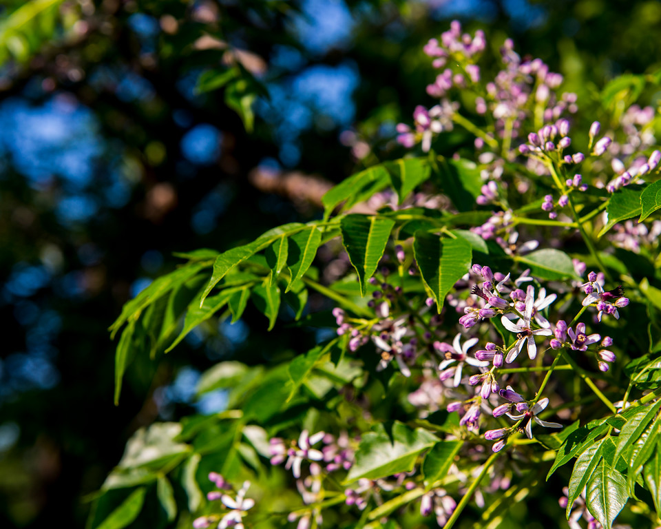 Chinaberry Tree, Austin, Texas