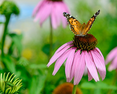 Butterfly on a Purple Cone Flower