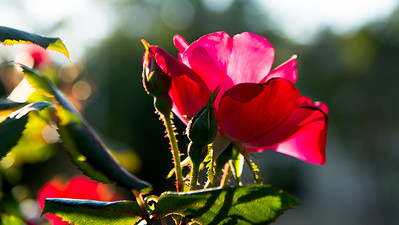 Rose backlit by sun