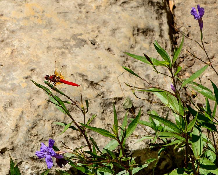 Dragonfly - Orange - Insect - Professional Photography - Austin, Texas - Macro Photography, Zilker Botanical Garden