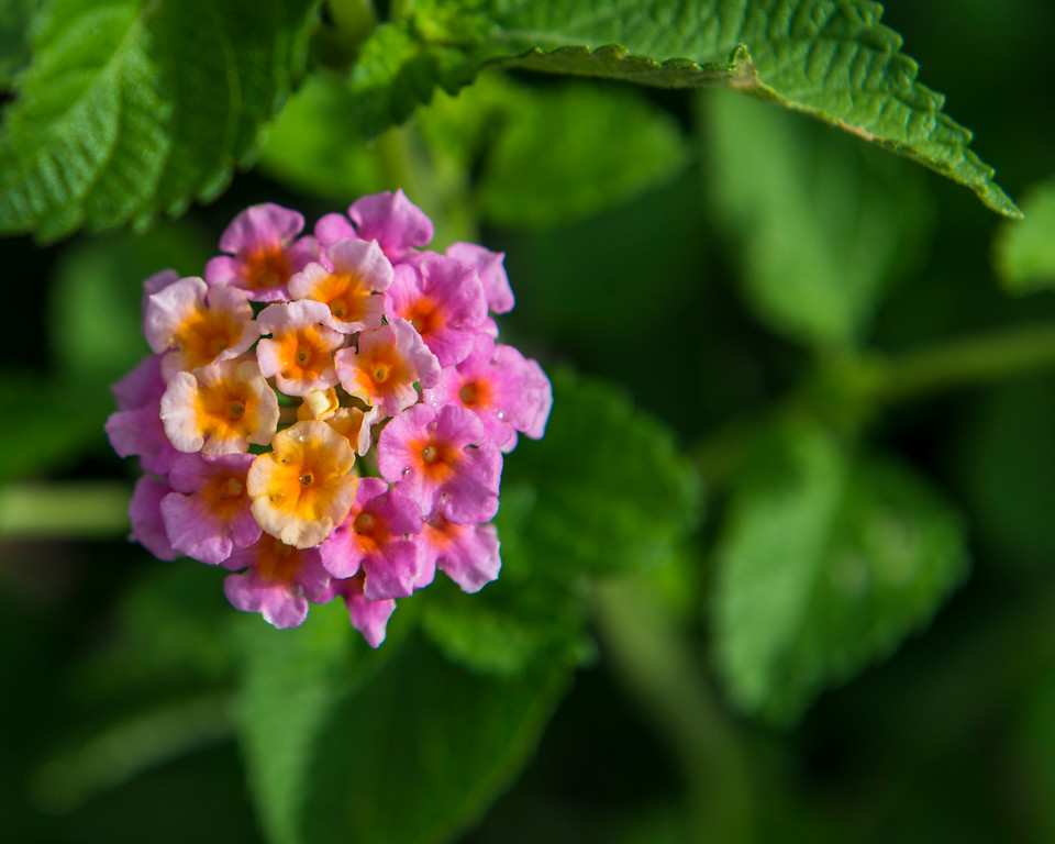West Indian Lantana (Lantana urticoides)