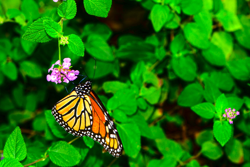 Monarch Butterfly on Lantana Flower - Professional Floral Photography - Austin, Texas - Macro Photography