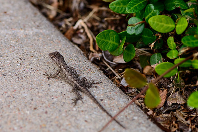 Lizard - Professional Photography - Austin, Texas - Macro Photography