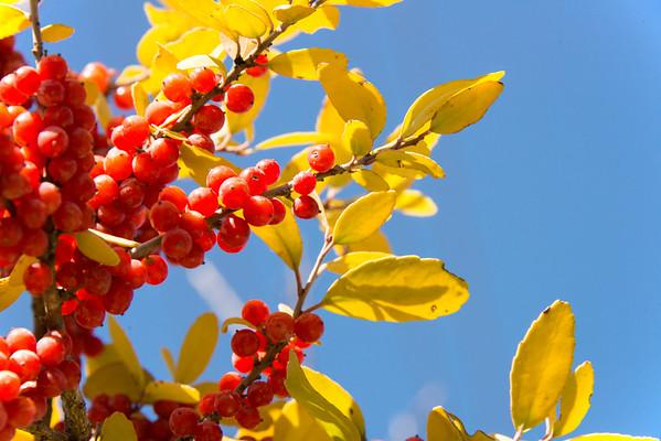 Berry covered bush - Austin - Texas