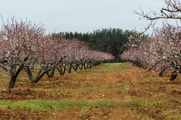 Peach Trees in Fredericksburg, Texas