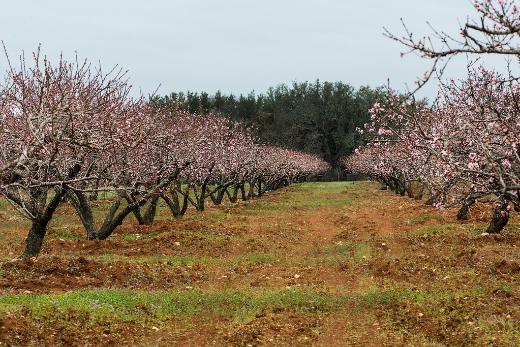 Peach Trees in Fredericksburg, Texas