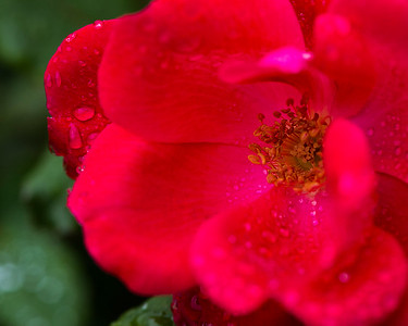 Rose with dew - Professional Floral Photography, Texas - Macro Photography