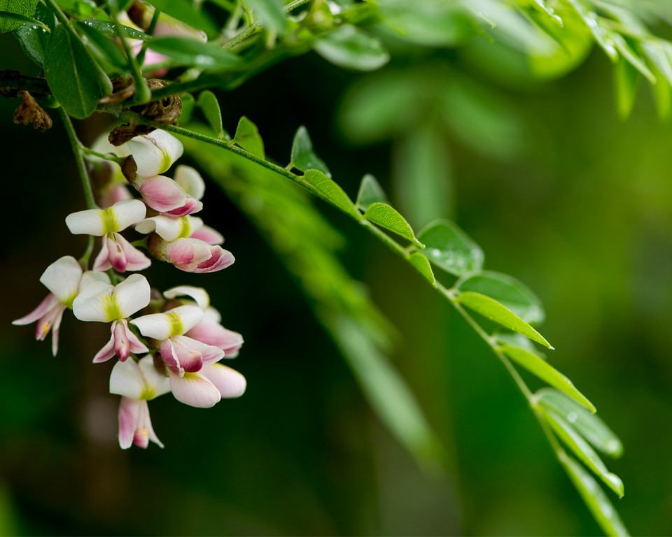 Eve's Necklace (Texas Sophora) - Flowering Tree - Professional Floral Photography - Austin, Texas - Macro Photography