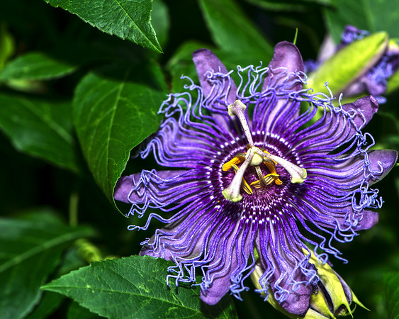 Purple Passionflower - Professional Floral Photography - Austin, Texas - Macro Photography