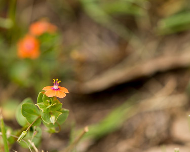 Scarlet Pimpernel (Anagallis arvensis) - Professional Floral Photography - Austin, Texas - Macro Photography