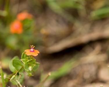 Scarlet Pimpernel (Anagallis arvensis) - Little Orange flower - Austin - Texas