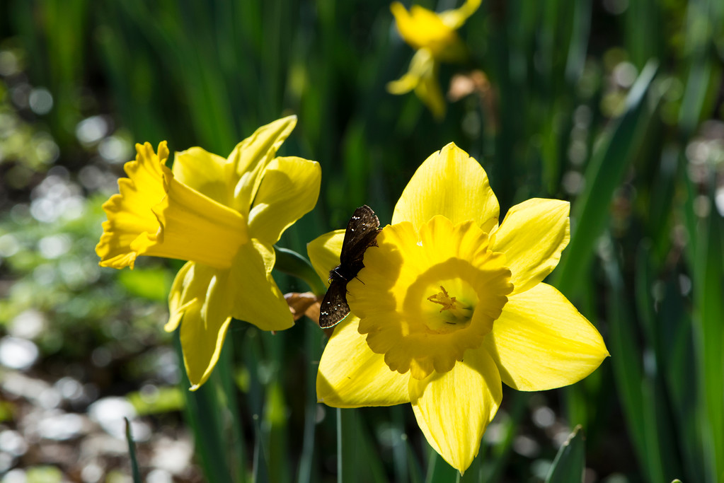 Butterfly on Yellow Daffodils