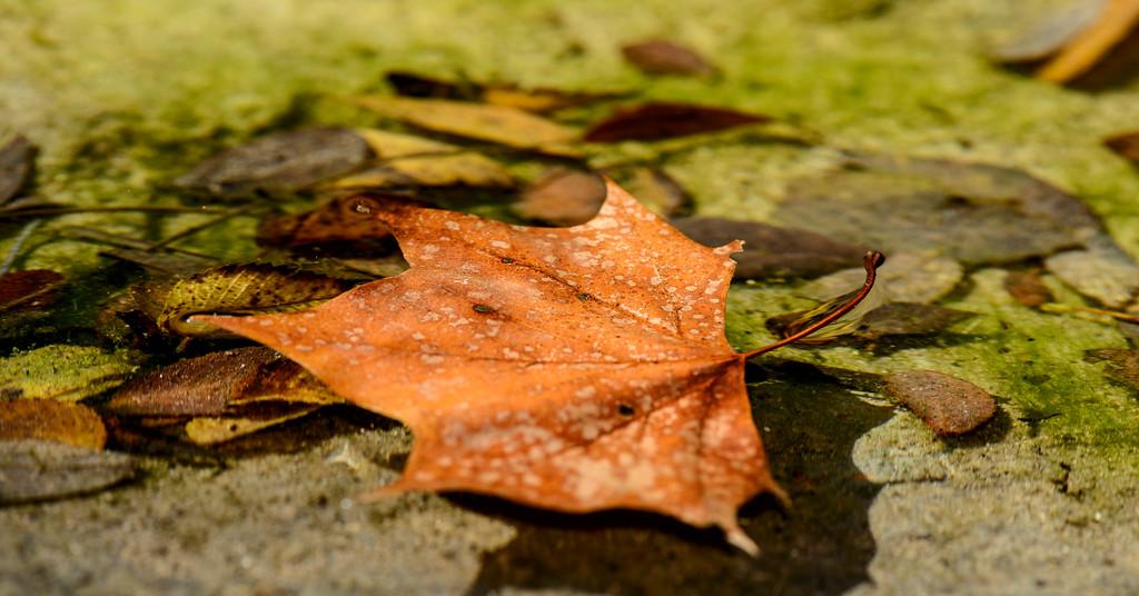 Autumn leaves in a creek, Austin, Texas