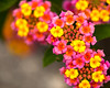 Lantana Sunset - Flowers - Austin - Texas
