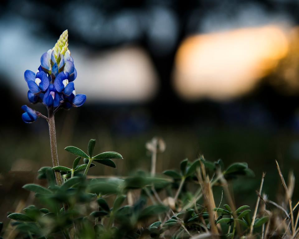 Bluebonnet (Lupinus texensis)