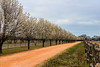 Mexican Plum Trees - Floral - Fredericksburg - Texas - USA