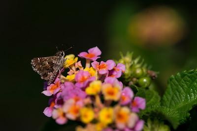 Lantana and Moth