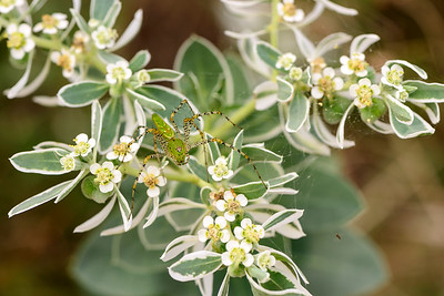 Green Lynx Spider, Spicewood, Texas