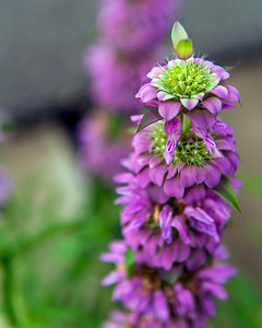 Purple Horsemint (Monarda citriodora)