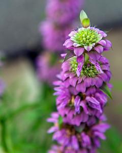 Purple Horsemint (Monarda citriodora)