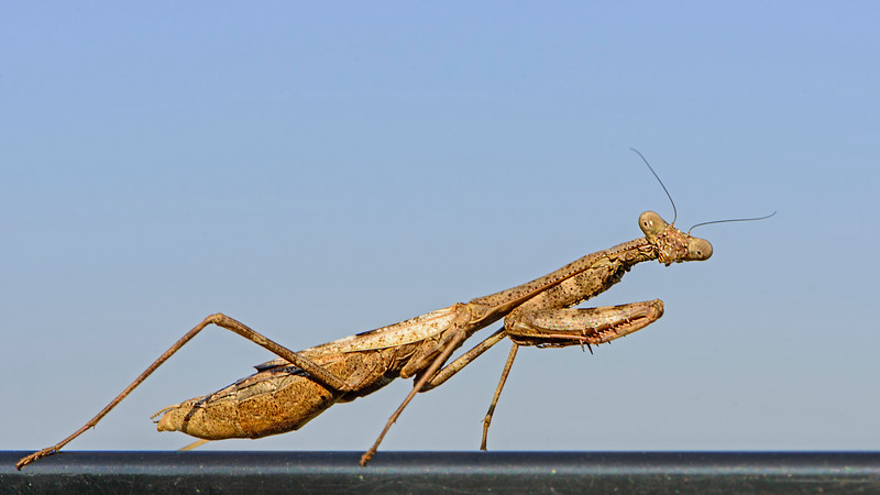 Sunbathing Praying Mantis