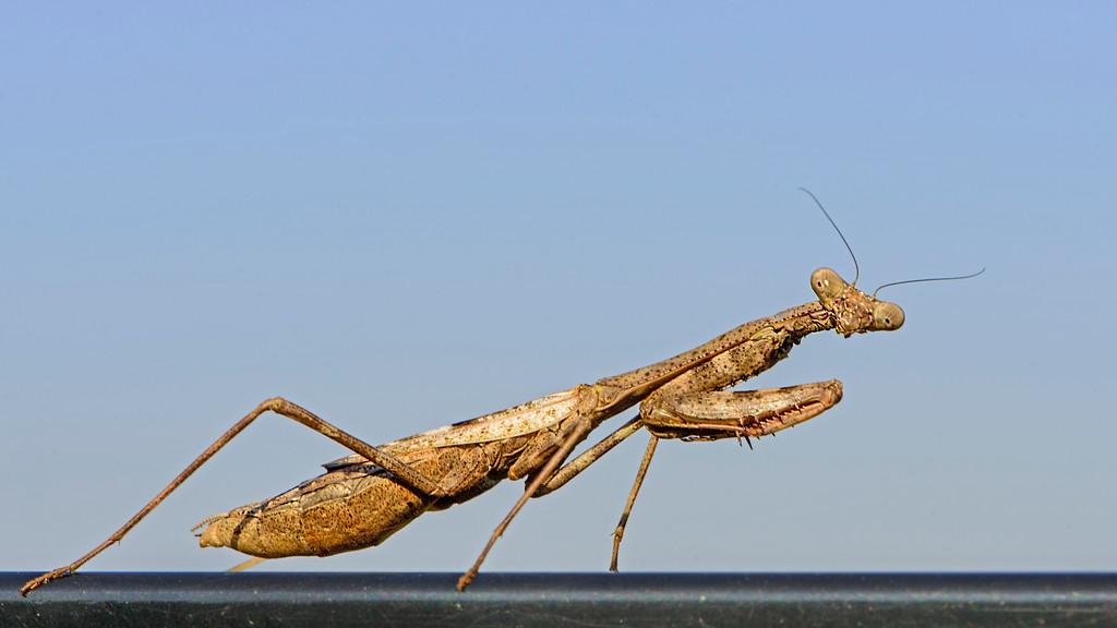 Sunbathing Praying Mantis