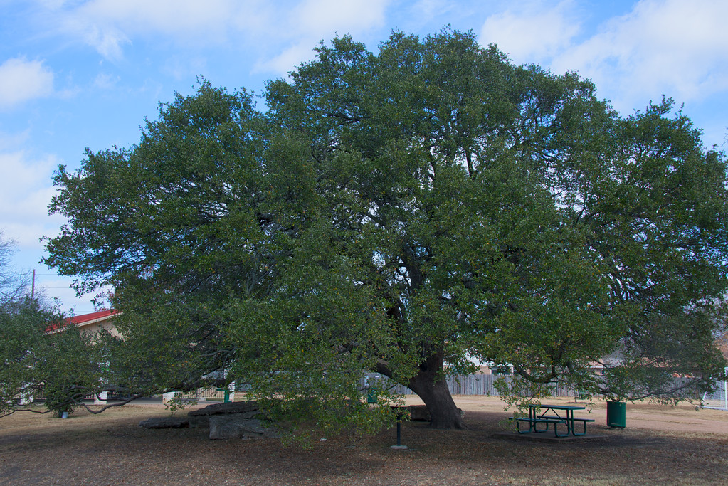 Oak Tree - Austin - Texas