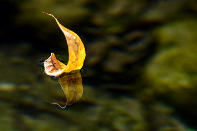 Autumn leaf in a creek