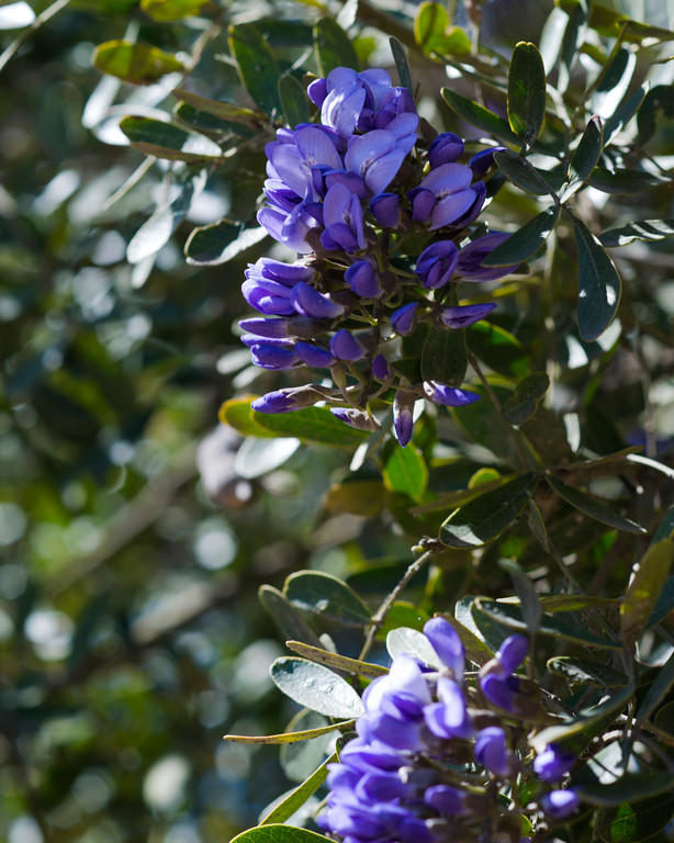 Texas Mountain Laurel - Flowering Tree - Professional Floral Photography - Austin, Texas