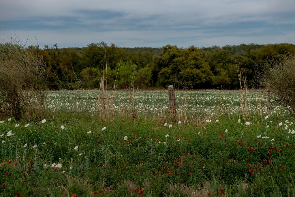 Indian Blanket (Gaillardia pulchella) and Prickly Poppy (Argemone albiflora)