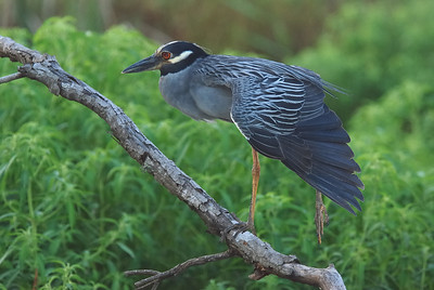 Night Heron at Brazos Bend